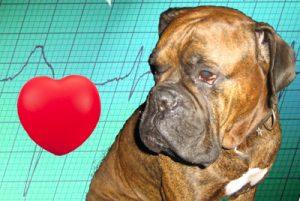 узи сердца,кардиологическое обследование животных,ЭКГ животных